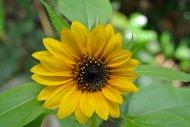 żółty kwiat w ogrodzie